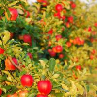 У Франківську на місці хрестів на скандальній ділянці висадять фруктовий сад